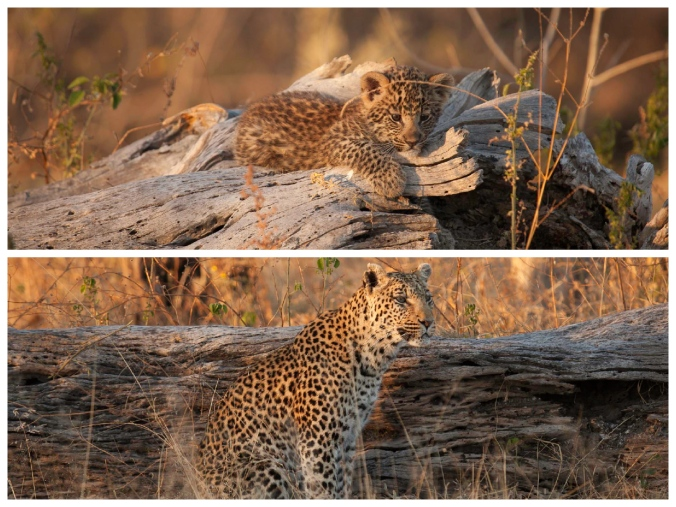 Leopard & Cub Collage (lit)