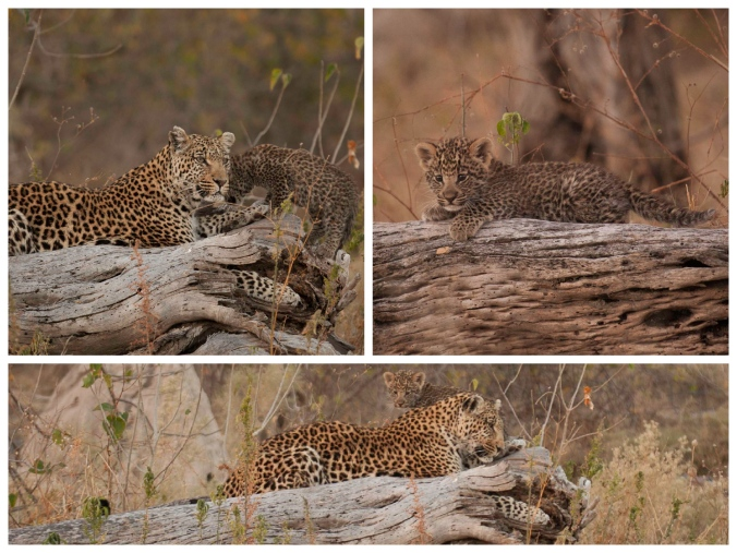 Leopard & Cub Collage (Shadow)